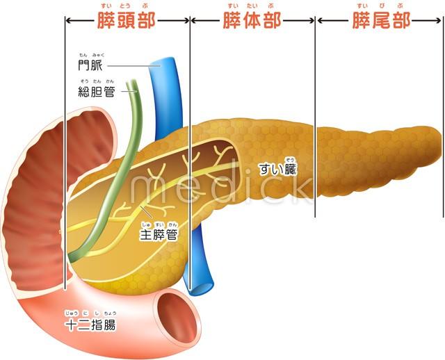 膵臓の構造