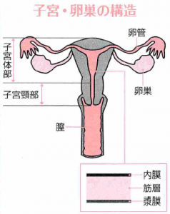 子宮頸がんと子宮体がん、それぞれの原因